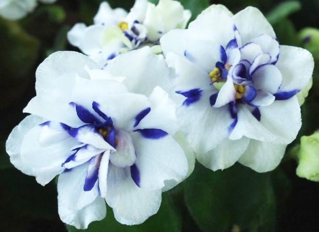 Красивая белая фиалка с синими краями лепестков