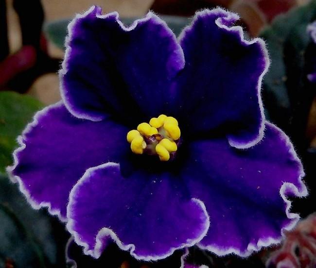Эффектная фиолетовая фиалка с белой каемкой