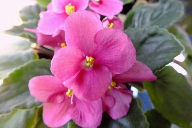 Прекрасные розовые фиалки