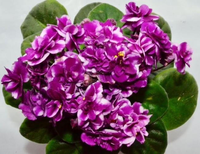 Огромной популярностью фиалка пользуется из-за своего продолжительного цветения, а также невероятного многообразия сортов