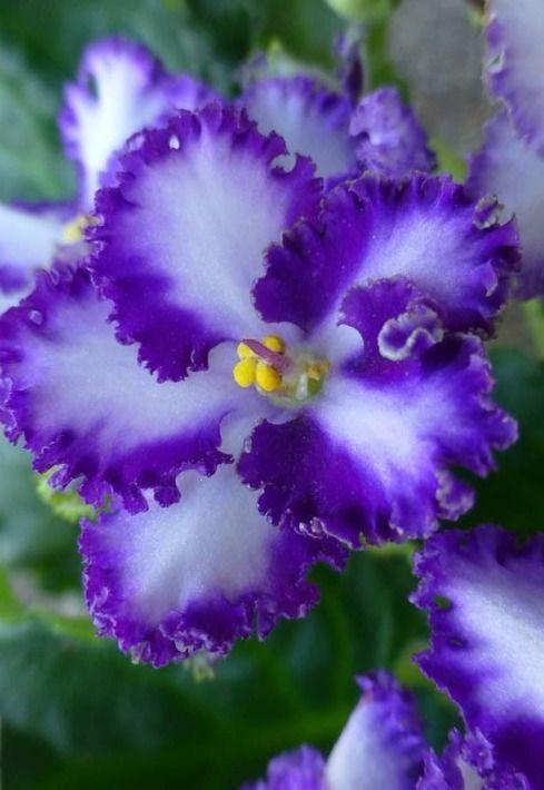 Фиалка с волнистыми бело-фиолетовыми лепестками