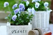 Фото 10 Особенности выращивания фиалок в домашних условиях — 70 фото