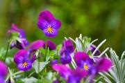 Фото 15 Особенности выращивания фиалок в домашних условиях — 70 фото
