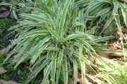 Фото 7 Хлорофитум (55 фото): полезное и пестрое комнатное растение