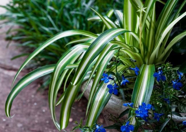 Капский хлорофитум имеет более широкие листики