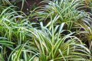 Фото 10 Хлорофитум (55 фото): полезное и пестрое комнатное растение
