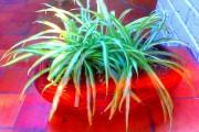 Фото 11 Хлорофитум (55 фото): полезное и пестрое комнатное растение