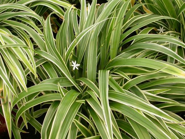 Растение прекрасно смотрится на клумбе