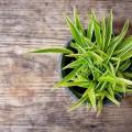 Хлорофитум (55 фото): полезное и пестрое комнатное растение фото