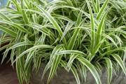Фото 1 Хлорофитум (55 фото): полезное и пестрое комнатное растение