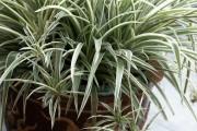 Фото 13 Хлорофитум (55 фото): полезное и пестрое комнатное растение