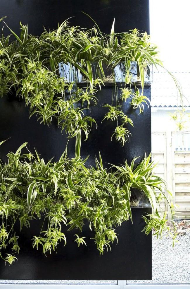 Хлорофитум - не только красивое, но и полезное комнатное растение