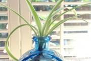 Фото 15 Хлорофитум (55 фото): полезное и пестрое комнатное растение