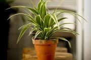 Фото 22 Хлорофитум (55 фото): полезное и пестрое комнатное растение