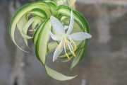 Фото 27 Хлорофитум (55 фото): полезное и пестрое комнатное растение