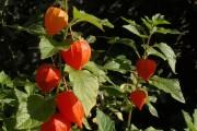 Фото 27 (90+ фото) Физалис — выращивание и грамотный уход