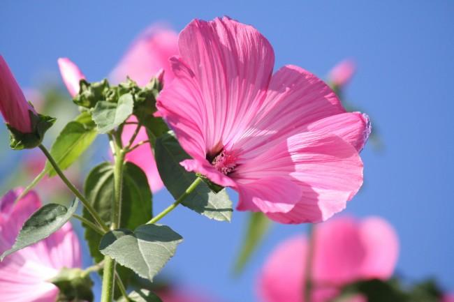 Все части растения можно использовать как лекарство, но самая сильная концентрация полезных веществ — в корне