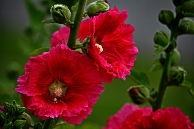 Мальва распускает удивительные махровые цветки на длинных стеблях, удивляя вариациями форм и поразительными окрасками