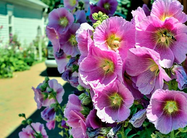 Мальва обычно цветет с июня по сентябрь