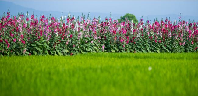 Растения штокрозы достаточно высокорослые, поэтому необходимо при посадке учесть расстояние между растениями