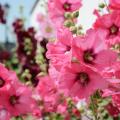 Мальва: посадка и уход за высокорослой красавицей фото