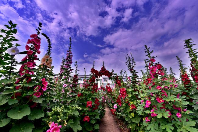 Самые привередливые вкусы сможет удовлетворить это растение благодаря разнообразию окрасок и видов цветков