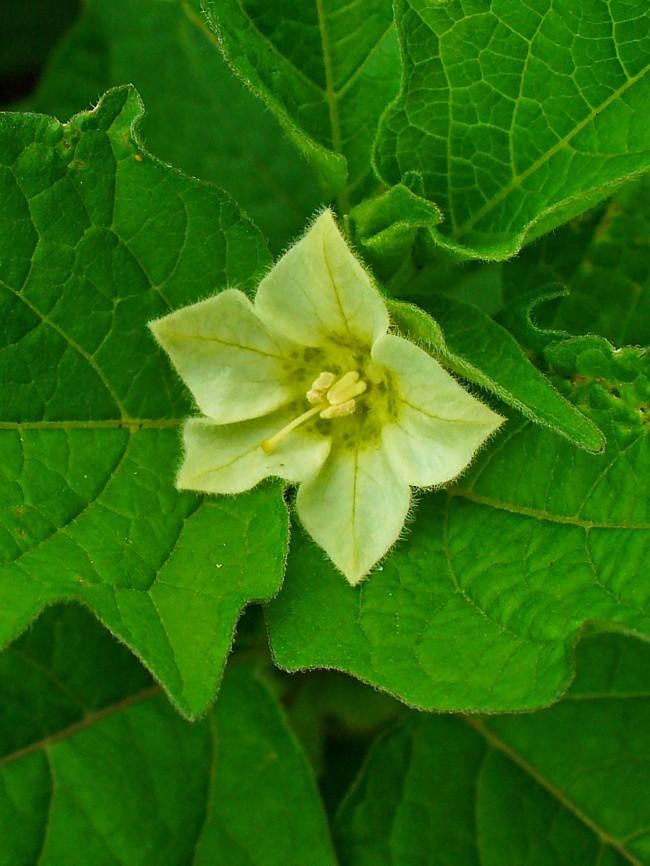 В начале летнего сезона физиалис цветет маленькими цветочками белого цвета
