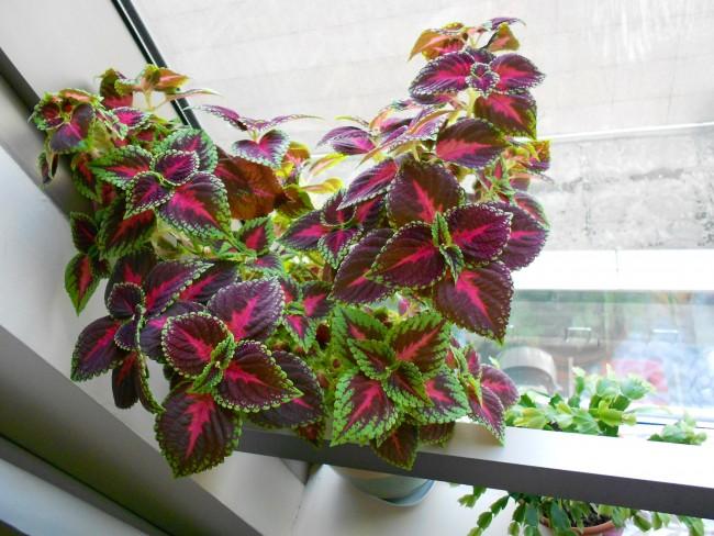 Колеусы, выращиваемые в домашних условиях, отлично чувствуют себя при комнатной температуре
