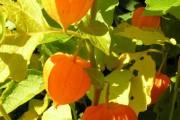 Фото 29 (90+ фото) Физалис — выращивание и грамотный уход