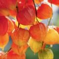 55+ фото Физалис — выращивание и грамотный уход фото
