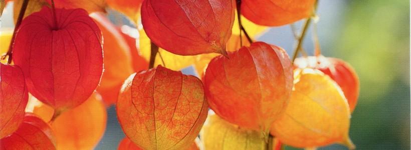 Особенностью всех физалисов является плод-ягода, заключённый в похожую на китайский бумажный фонарик оболочку