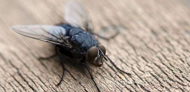 Как избавиться от мух в доме. Комнатная муха (лат. Musca domestica) - синантропное насекомое, то есть живущее рядом с человеком, а в дикой природе она уже практически не встречается