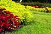 Фото 18 Колеус (54 фото): пестрое растение для украшения дома и сада