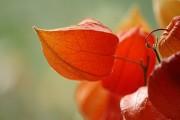 Фото 6 55+ фото Физалис — выращивание и грамотный уход