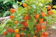 Фото 26 (90+ фото) Физалис — выращивание и грамотный уход