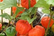 Фото 14 (90+ фото) Физалис — выращивание и грамотный уход