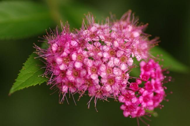 Только что распустившиеся розоватые цветы пузыреплодника амурского