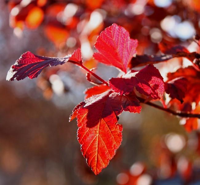 Ярко-красный цвет листвы пузыреплодника сорта Red Baron в конце лета