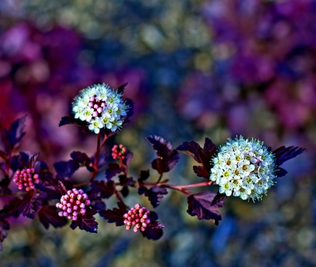 Сорт пузыреплодника Red Baron меняет окраску листвы на протяжении года: от глубокого бордового цвета летом она переходит к бронзовой осенью