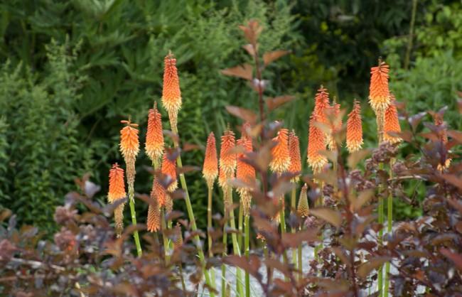 Этот кустарник - отличный высокий густой фон для других декоративных растений и цветов. На фото - удачное сочетание цвета: бордовый пузыреплодник и теплый градиент соцветий тритомы