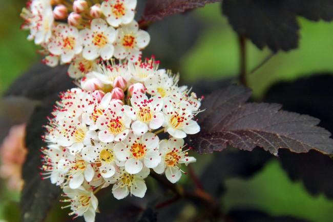 """Сорт пузыреплодника """"Diabolo"""" отличается не только глубокой багровой окраской листьев, но и красноватыми цветами"""