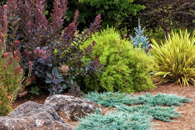 Пурпурные и багровые кусты пузыреплодника интереснее всего смотрятся в соседстве с растениями в желтоватой гамме