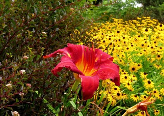 Коммерческий сорт пузыреплодника Little Devil как средний ярус сада с лилейниками и рудбекией