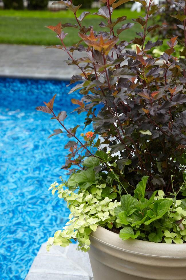Карликовые сорта пузыреплодника вполне подходят для выращивания в клумбах и больших садовых вазонах