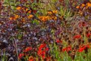 Фото 9 50+ фото Пузыреплодник калинолистный — посадка и уход