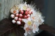 Фото 4 50+ фото Пузыреплодник калинолистный — посадка и уход