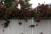 Фото 14 50+ фото Пузыреплодник калинолистный — посадка и уход