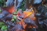 Фото 6 50+ фото Пузыреплодник калинолистный — посадка и уход