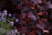 Фото 24 50+ фото Пузыреплодник калинолистный — посадка и уход