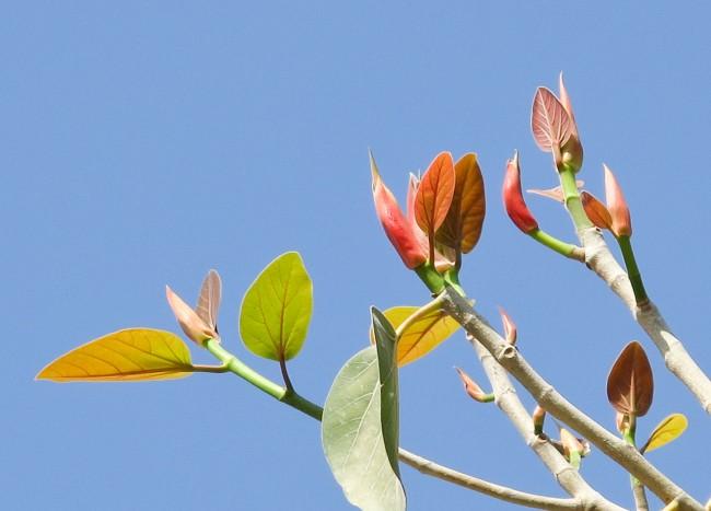 Фикусы разновидности с фото и названиями. Распускающиеся листья каучуконосного фикуса в основном имеют желтоватую окраску, позже - зеленеют